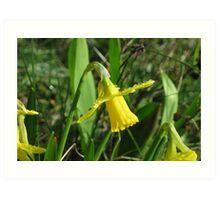 Raindrops on daffodil Art Print