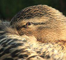 Mallard or wild duck by DutchLumix