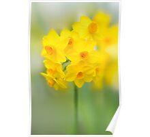 Daffodil Joy Poster