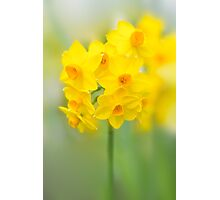Daffodil Joy Photographic Print