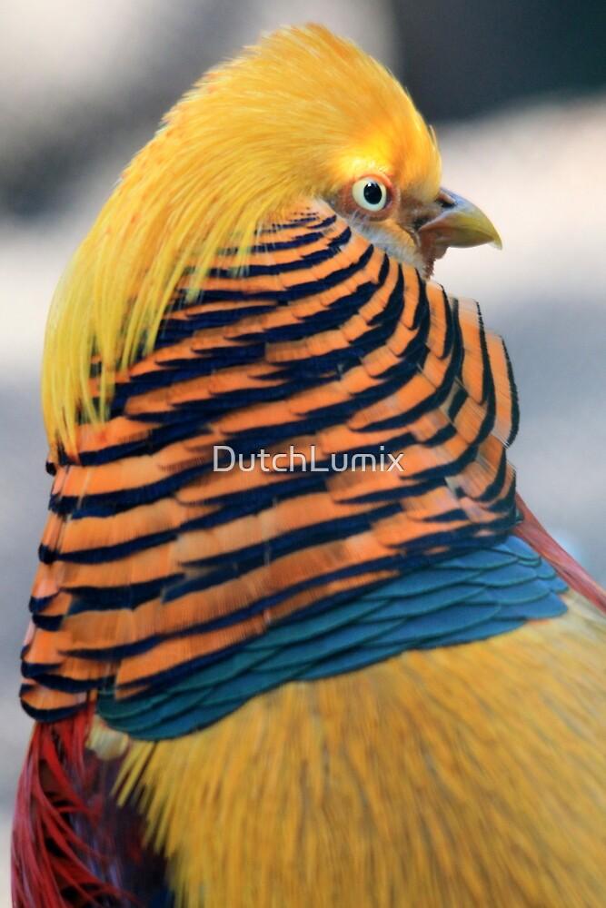 Golden Pheasant by DutchLumix