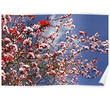Cheery Blossom,  Poster