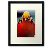 Golden Pheasant 2 Framed Print