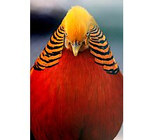 Golden Pheasant 2 Photographic Print
