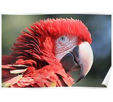 Red-and-green Macaw Poster