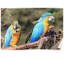 Two Blue-and-yellow Macaw Poster