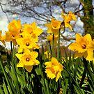 Daffodils by Finbarr Reilly
