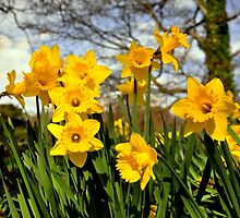 Daffodils by Finbarr Reilly