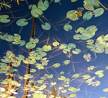 Lilly Pad Reflection  by photolyns