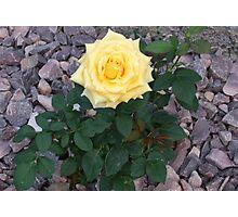 Soft Yellow Rose  Photographic Print