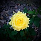 Yellow Ribbon Rose by Nora Caswell