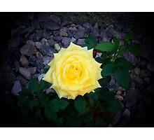 Yellow Ribbon Rose Photographic Print