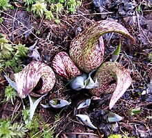 Eastern Skunk Cabbage (symplocarpus foetidus) by Jean Gregory  Evans