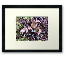 Eastern Skunk Cabbage (symplocarpus foetidus) Framed Print