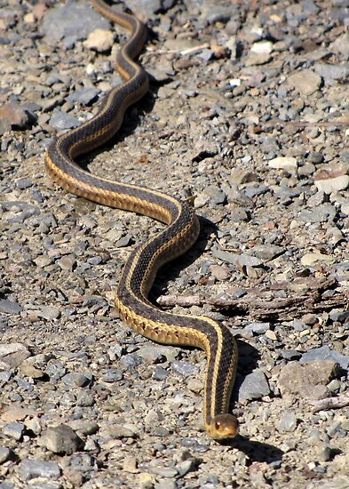 First Snake of the Season by Rusty Katchmer