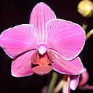 Single Orchid by Dean Messenger