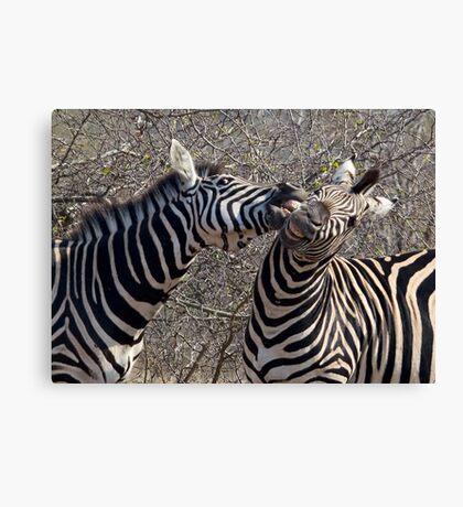 Zebra Dispute Canvas Print