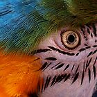 Eye,Eye...Captain! by tigerwings