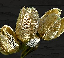 Dried Lily Seed Pods by MotherNature