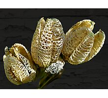 Dried Lily Seed Pods Photographic Print