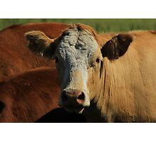 Cow on the Prairies Photographic Print