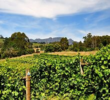 Australia, Tasmania Vineyards by photoj