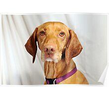 Vizsla Dog Poster