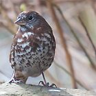 Fox Sparrow (female) by titus
