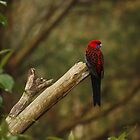 Crimson Rosella by Timo Balk