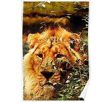 Camouflaged Asiatic Lion Poster