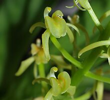 Yellow Rock Orchid, Cestichis reflexa by orkology