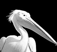 White pelican by Andreas  Berheide