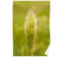 A stalk of Pearl Millet Poster