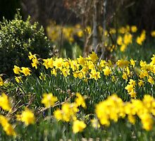 Blooming daffodils by Joyce Knorz