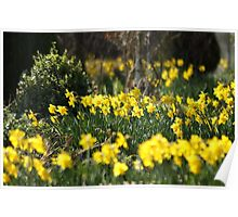 Blooming daffodils Poster