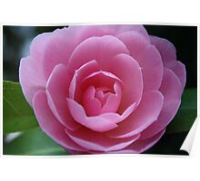 Softh Pink Rose Poster