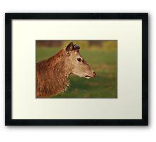 Red Deer at Calke Abbey Framed Print