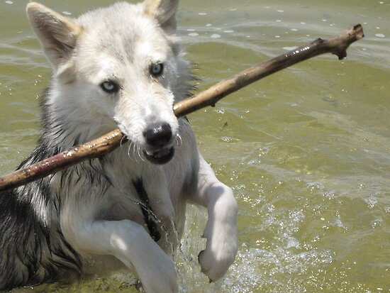Wolf Hybrid Mia Playing Fetch by untameable