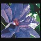 Big Blue Clematis by Leslie Gustafson