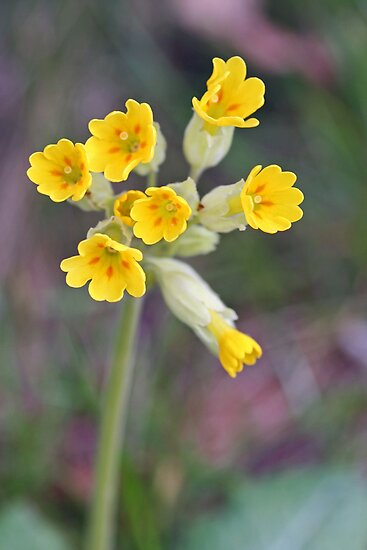 Cowslips by vivsworld