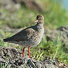 Redshank by Robert Abraham
