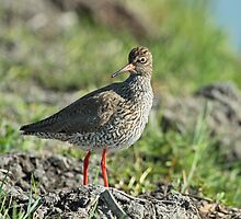 Redshank by Robert Abraham