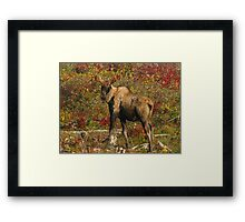 Maine Bull Moose in the fall Framed Print