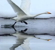 Whooper Swan by DutchLumix