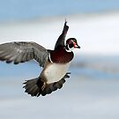In Flight / Wood Duck Drake by Gary Fairhead