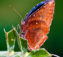 Butterfly  by AttiPhotography