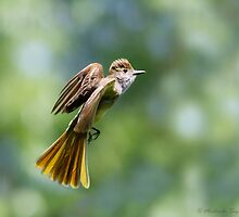 Great Crested Flycatcher on dappled background by Michaela Sagatova