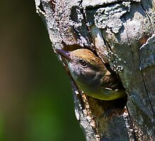 Great Crested Flycatcher Peeking Out by PixlPixi