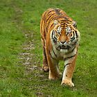 Amur Tiger by John Dickson