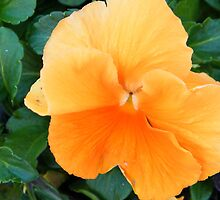 Orange Pansy by WeeZie